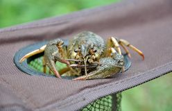 Crayfish astacus. Large cancer close up. Crayfish astacus. Large and lively cancer close up Stock Image