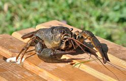 Crayfish Astacus. Large and lively cancer. Stock Photos