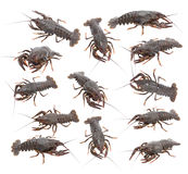 Crayfish (Astacus leptodactylus) Stock Photography