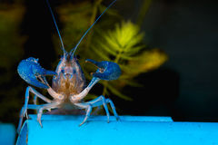 Crayfish. Beautiful blue crayfish Procambarus alleni in fish taank Royalty Free Stock Photos