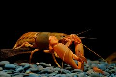 Crayfish in black background stock photography