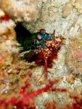 Crayfish. Capture, scuba diving, Similan, Thailand Stock Photos