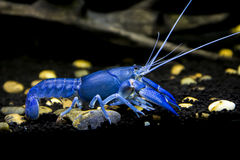 Crayfish Cherax destructor. In Aquarium lined with clay for shrimps Stock Image