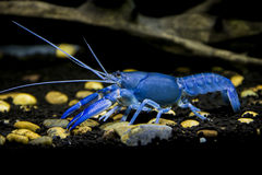 Crayfish Cherax destructor. In Aquarium lined with clay for shrimps Royalty Free Stock Photography