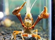 Crayfish. Close up crayfish in aquariums Stock Photos