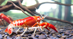 Crayfish. Close up crayfish in aquariums Royalty Free Stock Photo