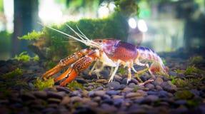 Crayfish. Close up crayfish in aquariums Royalty Free Stock Image
