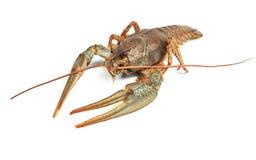 Crayfish closeup. On white background Royalty Free Stock Photography