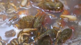 Crayfish are cooking. Crayfish cooked in boiling water with spices in a saucepan stock video