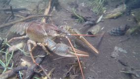 Crayfish crawling under water. Hd video stock video