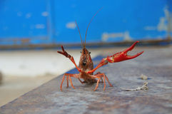 Crayfish defending itself Royalty Free Stock Image