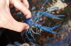 Crayfish farming Royalty Free Stock Photos