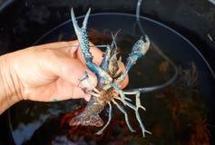 Crayfish farming Stock Photo