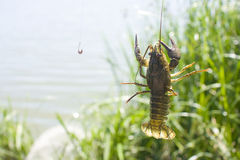 Crayfish on a fisherman's hook. Live crayfish caught on a fisherman's hook against the background of a lake and green vegetation Stock Images