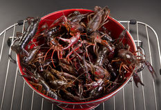 Crayfish. Stock Image