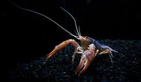 Crayfish Ghost Farm Shrimp in Aquarium Stock Photos