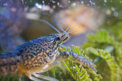 Crayfish on green water plant Stock Images