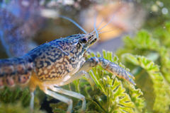 Crayfish on green water plant Stock Photo