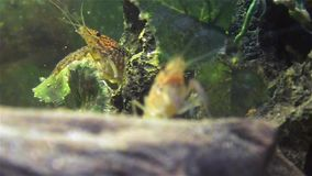Crayfish on green water plant stock video footage