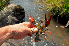 Crayfish in human hand. At the river Royalty Free Stock Images