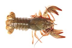 Crayfish isolate. Alive row crayfish on a white background stock image