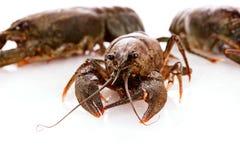Crayfish isolated Royalty Free Stock Image