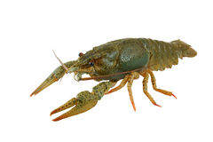 Crayfish isolated Stock Photography