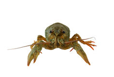 Crayfish isolated Royalty Free Stock Photography