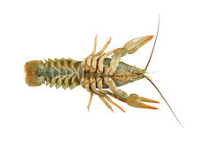 Crayfish isolated Stock Images