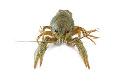 Crayfish isolated Royalty Free Stock Photos