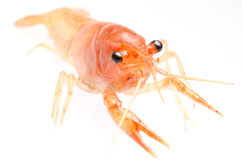 Crayfish isolated Stock Photos
