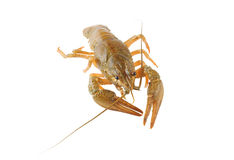 Crayfish isolated Royalty Free Stock Image