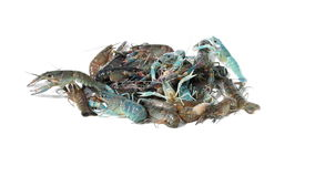 Crayfish on isolated stock footage