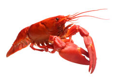 Crayfish isolated on white Royalty Free Stock Images