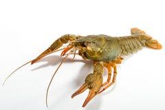 Crayfish isolated on white Stock Images