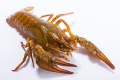 Crayfish isolated on white Royalty Free Stock Images