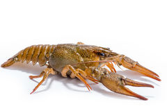 Crayfish isolated on the white background Stock Images