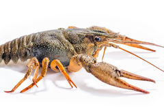 Crayfish isolated on the white background Royalty Free Stock Photography