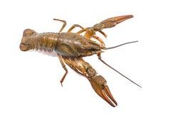 Crayfish isolated on the white background Stock Photography