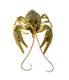 Crayfish isolated on white background pliers and a mustache Stock Photography