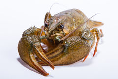 Crayfish isolated Stock Photography