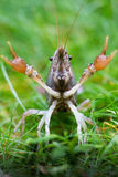Crayfish on the lawn Stock Images