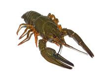 Crayfish on clean white background view 1 Royalty Free Stock Photo