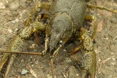 Crayfish. Stock Photography