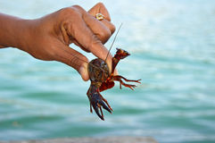 A Crayfish Stock Photo