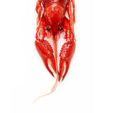 Crayfish lobster prawn  on white background Royalty Free Stock Photography