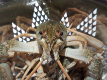 Crayfish looking into the camera Stock Image