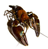 Crayfish male. Crayfish isolated on a white background with the natural shade still there. walking toward you Royalty Free Stock Photo