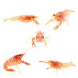 crayfish odizolowywający obrazy stock