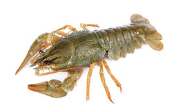 crayfish odizolowywający fotografia royalty free